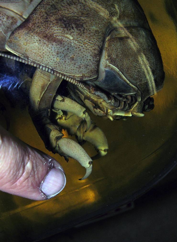 Bathynomus giganteu - olbrzymi isopod 9