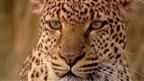 Скачать с letitbit  Тайная жизнь леопарда / PBS: Nature - Revealing the Leopard (2010/HDRip)