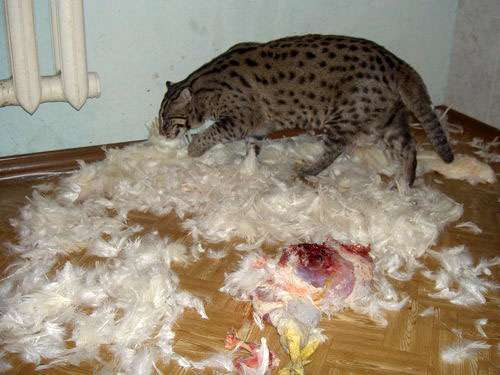 Udomowiony Taraj (Fishing cat) 14