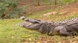 Скачать с letitbit  Крокодилы атакуют (2003) SATRip