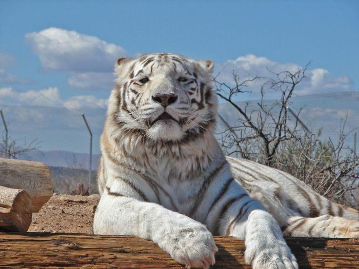 Biały tygrys 18